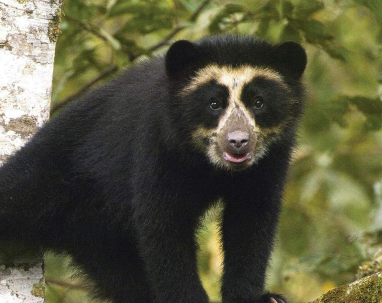 Conservation-Insight-Andean-Bear